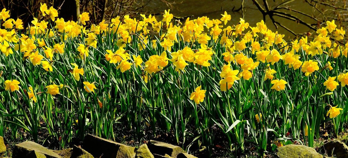 daffodils-1281788_1280 (1).jpg
